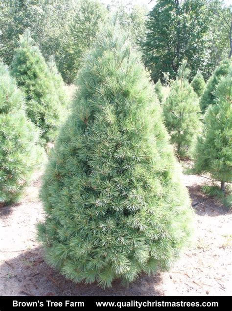order real tree buy real tree