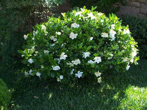 Gardenia Bush Proof Gardenia Buy Large Proof Gardenias