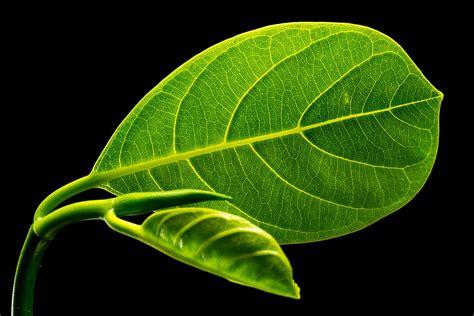 with leaves free photo leaf leaves fruit leaf free image on