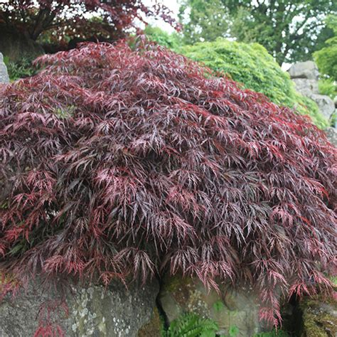 maple tree when to plant buy japanese maple acer palmatum inaba shidare delivery by crocus