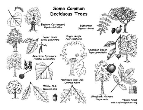 tree shapes trees by shape leaf fruit labeling page