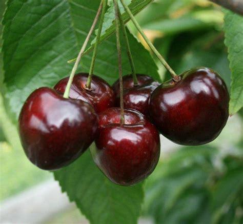 buy stella gisele cherry tree crj fruit trees nursery uk