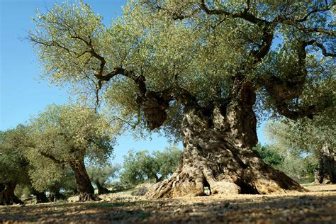 trees in spain giving new to ancient olive trees in spain