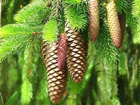 white pine cone white pine cone and tassel maine state flower travel