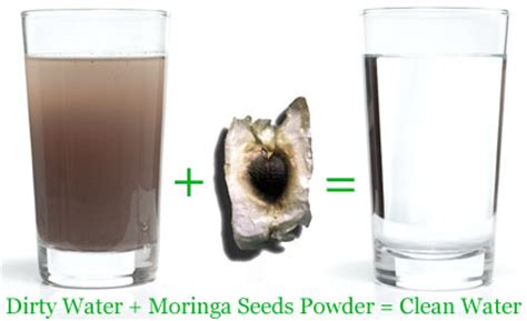 how to clean tree moringa water purification how to clean water with seeds