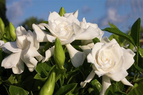 Gardenia Images Flowers For Flower Gardenia Flowers