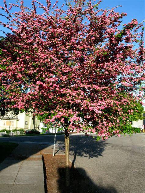 hawthorne tree tree identification crataegus laevigata hawthorn