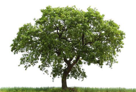 oak tree woodworking oak tree identification guide for the purposes of