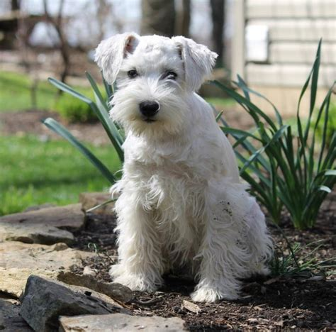 indiana adoption picture book miniature schnauzer breeders in indiana breeds picture