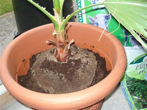 comment faire pousser un palmier plus vite de conception de maison