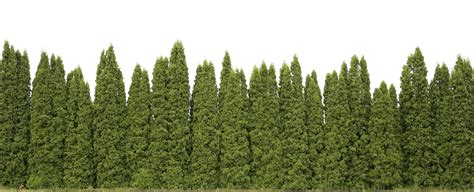 fast growing trees privacy trees these 4 grow the fastest fast growing