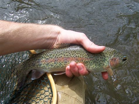 fishing trout trout fly fishing hatchery strain rainbow trout