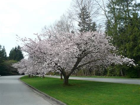 best time to prune flowering cherry trees 28 images how to prune an ornamental cherry tree