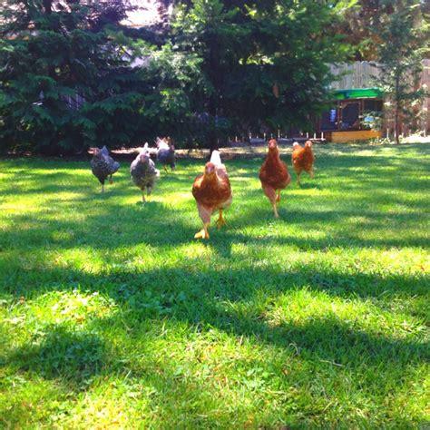 my backyard chickens my backyard chickens my farm