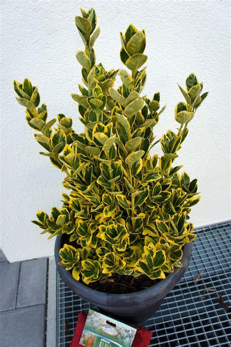pflanze immergrün winterhart blühend winterharte immergr 252 ne bl 252 hende balkonpflanze gibt s das