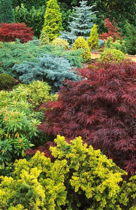 maple tree evergreen japanese maple acer palmatum garnet and conifers conifers gardens beautiful