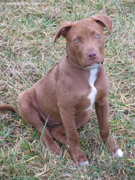 brown pit of a 5 months brown american pit bull terrier our