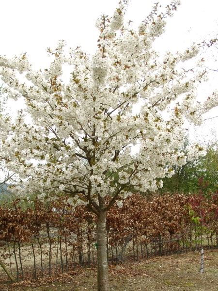 blushing flowering cherry trees for sale view now