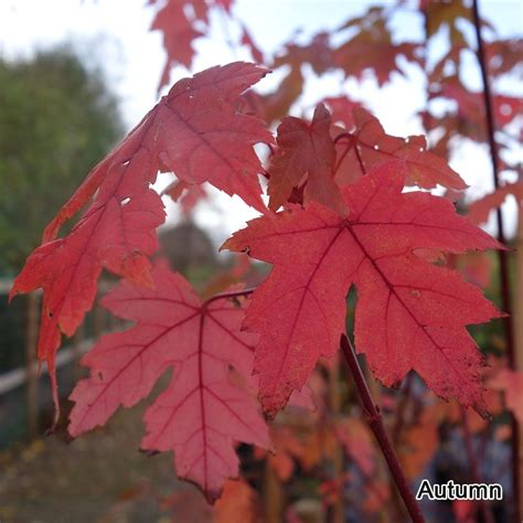 acer freemanii autumn blaze buy freeman maple trees