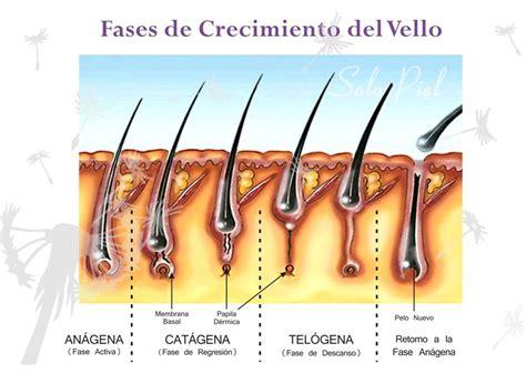 cadenas queratinicas cuerpo humano fases del crecimiento del vello
