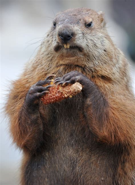 groundhog day best best photos of punxsutawney phil groundhog day groundhog