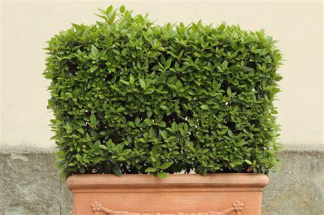pflanze immergrün winterhart blühend winterharte k 252 belpflanzen obi ratgeber