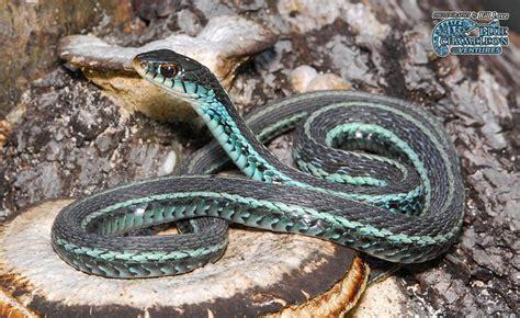 Garden Snake Florida Florida Blue Garden Snake Reptiles Hibians