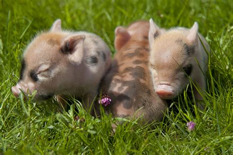 Micro Mini Pig Sale Breeds Picture
