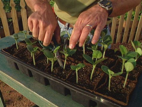 how to start growing squash from seeds how tos diy