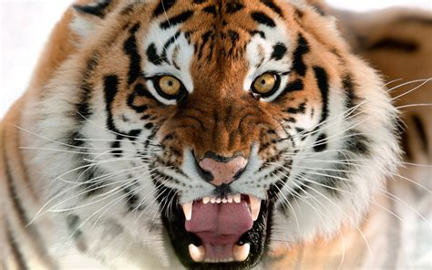 of tiger tiger wallpapers best wallpapers