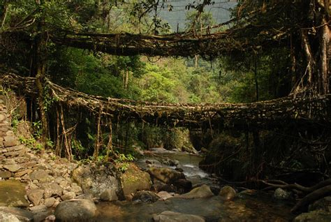 living bridges collection of bridges big and small