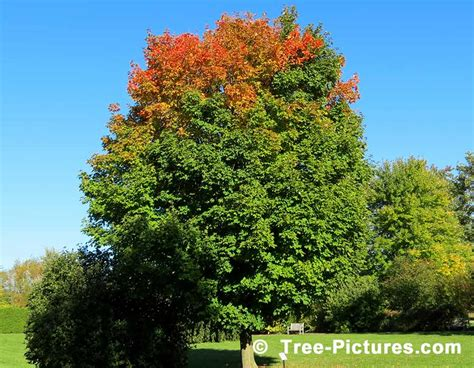 maple tree pictures images photos facts on maples trees