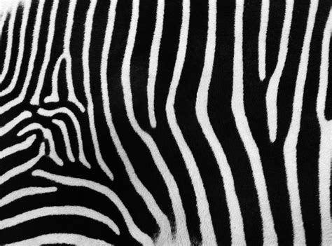 zebra stripes colors of nature zebras hd wallpapers hd wallpapers