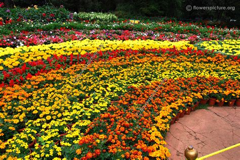 marigold flower garden marigold plants not flowering