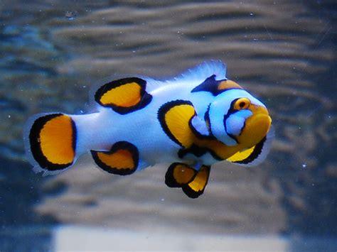 Designer Clownfish for Custom Aquariums | Coast Aquariums
