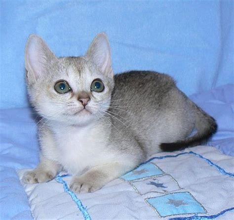 cat pictures singapura cat breed info history personality kittens