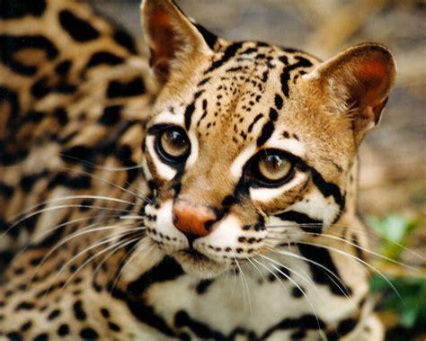 big cat my big cat ocelot