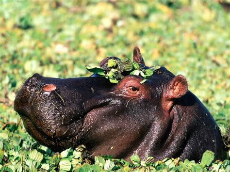 hippopotamus hippo wallpapers animals town