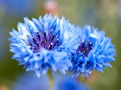garden flower types types of blue flowers hgtv