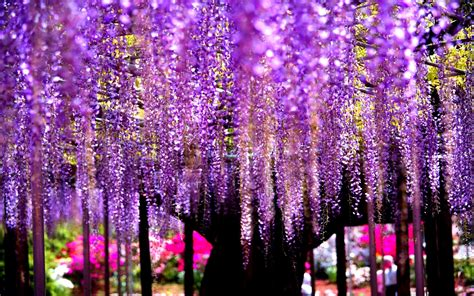 wisteria wallpaper wallpaper wisteria tree is extreem of nature