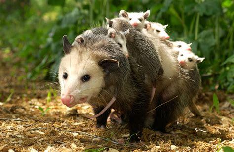 groundhog day xplor awesome opossums xplor