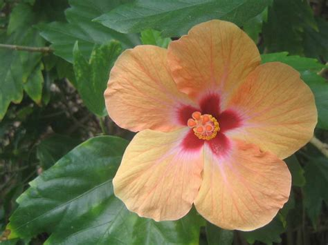 hibiscus flower hibiscus flowers pictures orange hibiscus flowers 1