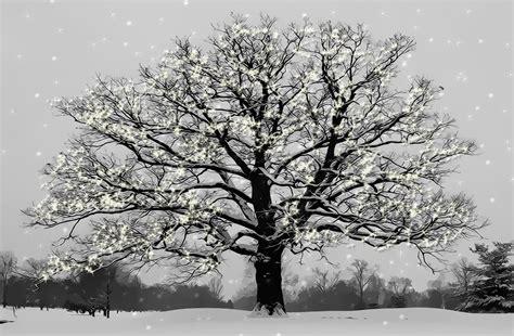 snowy tree pictures snowy tree by rivele on deviantart