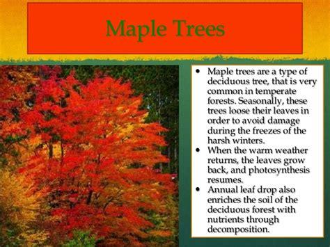 maple tree adaptations powerpoint