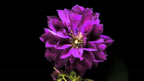 of flowers beautiful time lapses of flowers blooming