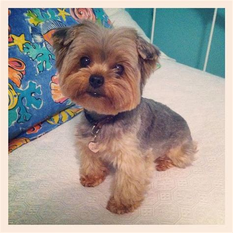 how to cut yorkie hair at home lilly yorkie dogs pinterest puppys so cute and hair