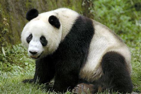 panda china panda and the bamboo pgcps mess reform sasscer