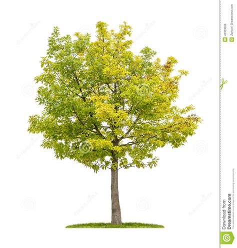tree on white oak tree on a white background stock photo image