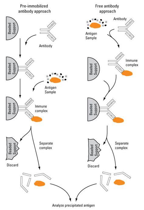 igg sepharose immunoprecipitation