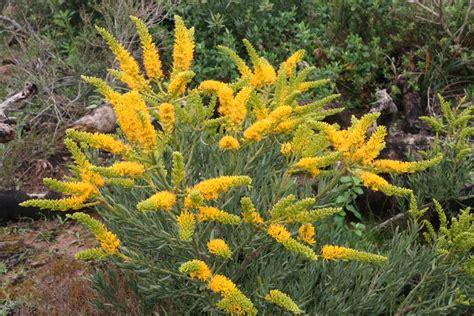 nuytsia floribunda western australian tree